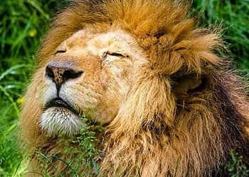 Lion Dies In Nahargarh Biological Park In Jaipur