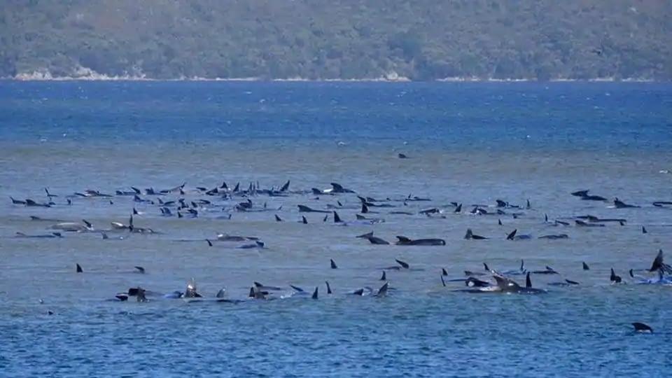 Stranded pilot whales are seen in Macquarie Heads, Tasmania, Australia on September 21, 2020.